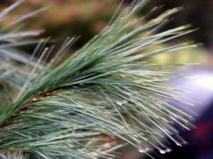Tuinplanten kopen. Pinus strobus