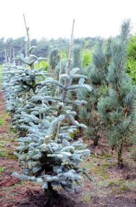 Abies procera Glauca op coniferenkwekerij