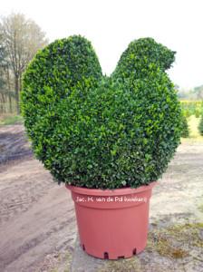 Tuinplanten zoals Buxus vorm KIP