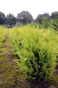 Gele coniferen Chamaecyparis lawsoniana Stardust