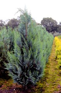 Blauwe coniferen kopen. Chamaecyparis lawsoniana Columnaris