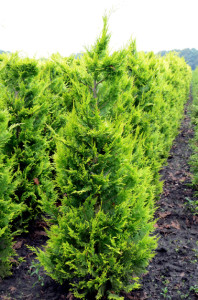 Chamaecyparis lawsoniana Ivonne gele haagconiferen