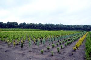 Jonge aanplant op de kwekerij in 2014