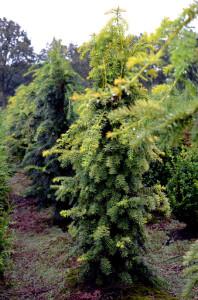 Taxus baccata kwekerij. Taxus baccata Dovastonii Aurea