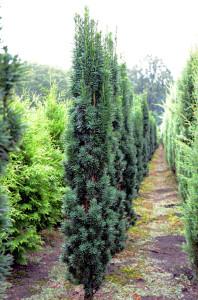 Taxus baccata Fastigiata Robusta. Zuilvormige coniferen.