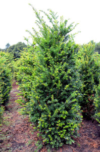 Taxus baccata 100-125