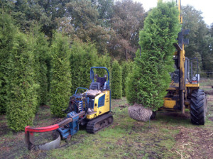Thuja occ. Yellow Ribbon 300-350