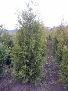 Thuja occidentalis 'Brabant' 120-140 CM